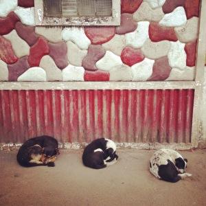 Three Lazy Dogs sleep in Darjeeling near Chowkrasta.