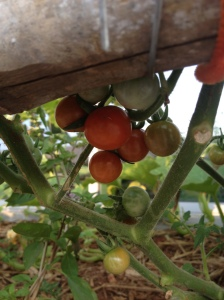 Cherry tomatoes finally starting to hit their stride!