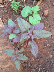 A and K's always impressive (and delicious) red amaranth.