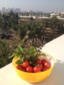 The first harvest of our cherry tomatoes, decorated with Thai sweet basil and fresh coriander. View to the west from the terrace.